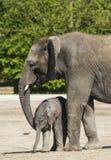 非洲小牛大象 图库摄影