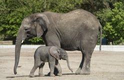 非洲小牛大象 库存图片