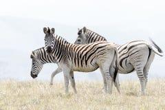 非洲山斑马 库存照片