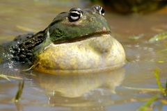 非洲巨型牛蛙 库存照片
