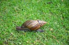 非洲巨型蜗牛 库存照片
