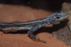 非洲平的岩石蜥蜴 免版税库存图片