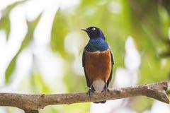 非洲恼怒的看起来starling的雄伟superbus的鸟转接lamprotornis 库存图片