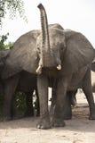 非洲恼怒的雄象 库存图片
