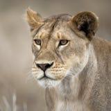 非洲接近的雌狮serengeti坦桑尼亚 免版税库存图片