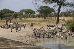 非洲斑马在坦桑尼亚 免版税图库摄影