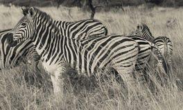 非洲斑马 图库摄影