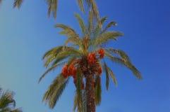 非洲枣椰子结构树突尼斯 免版税图库摄影