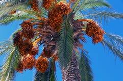 非洲枣椰子结构树突尼斯 图库摄影