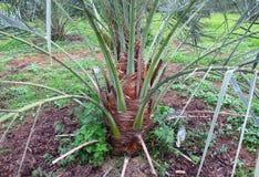 非洲枣椰子结构树突尼斯 免版税库存照片