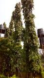 非洲树的 免版税库存照片
