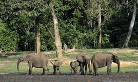 非洲森林大象,非洲象属africana cyclotis, (森林住宅大象)刚果盆地 在盐的Dzanga 库存照片