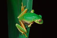 非洲森林青蛙南结构树 图库摄影