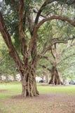 非洲沙枣树 图库摄影