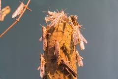 非洲沙漠蝗虫 免版税库存图片