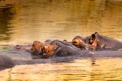 非洲河马在他们的自然生态环境 肯尼亚 闹事 图库摄影