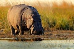非洲河马,河马amphibius海角,与晚上太阳, Chobe河,博茨瓦纳 免版税库存图片
