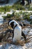 非洲海滩冰砾企鹅 图库摄影