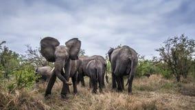 非洲灌木大象在克鲁格国家公园,南非 免版税库存图片