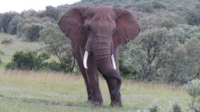 非洲灌木大象 免版税图库摄影