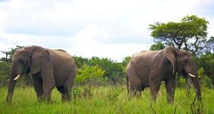 非洲灌木大象 免版税库存图片
