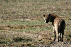 非洲火山口鬣狗ngorongoro坦桑尼亚 库存图片