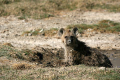 非洲火山口鬣狗ngorongoro坦桑尼亚 免版税库存图片