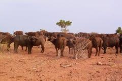 非洲水牛城牧群-徒步旅行队肯尼亚 免版税图库摄影