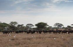 非洲水牛城 免版税图库摄影