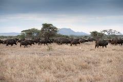 非洲水牛城 库存图片