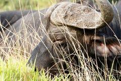 非洲水牛城Syncerus caffer的眼睛 免版税库存照片