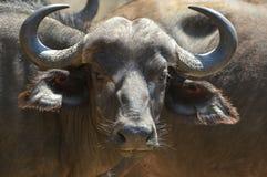 非洲水牛或Cape Buffalo (Syncerus caffer) 图库摄影