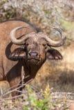非洲水牛母牛(Syncerus caffer)画象-克留格尔国家公园 库存图片