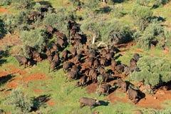 非洲水牛牧群 图库摄影