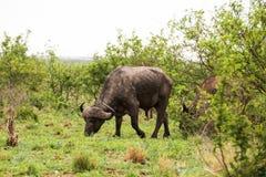 非洲水牛纵向 免版税图库摄影