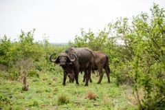非洲水牛纵向 图库摄影