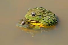 非洲牛蛙巨型联接 免版税图库摄影
