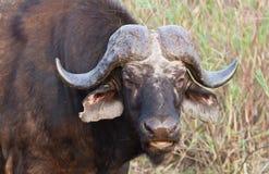 非洲水牛 免版税库存图片