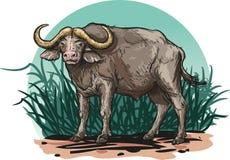 非洲水牛 库存照片