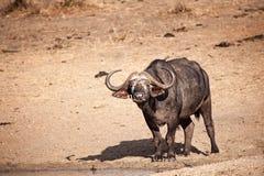 非洲水牛caffer syncerus 免版税库存照片