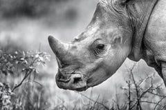 非洲犀牛小牛黑白照片垫铁 图库摄影