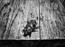 非洲犀牛甲虫 库存图片