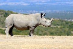 非洲犀牛白色 图库摄影
