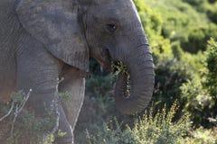 非洲狂放的大象 图库摄影