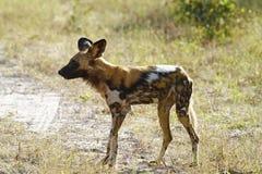 非洲狗狩猎被绘的s野生狼 免版税库存照片