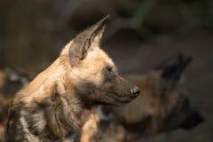 非洲狗(lycaon)关闭  免版税库存照片