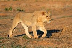 非洲狮子偷偷靠近 库存图片