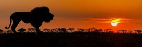 非洲狮子剪影日落横幅 免版税库存图片