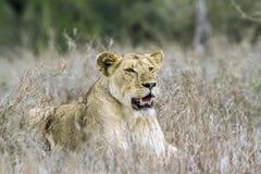 非洲狮子在克鲁格国家公园,南非 库存图片