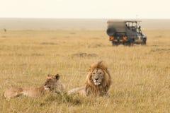 非洲狮子夫妇和徒步旅行队吉普 免版税库存图片